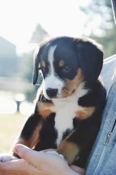 Mila the Entlebucher at 8 weeks old. Animals And Pets, Baby Animals, Cute Animals, Fluffy Puppies, Cute Puppies, Dog Photos, Dog Pictures, Swiss Mountain Dog Puppy, Entlebucher Mountain Dog