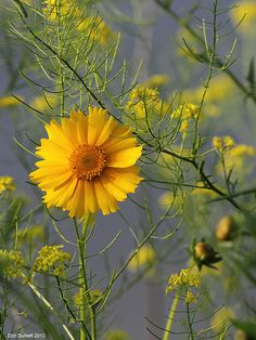 Lance Leafed Coreopsis_02 by Don Burkett, via Flickr