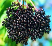 Nova Elderberry  Bring beauty to your landscape and fresh fruit to your table. In spring, these plants feature lovely white blooms, and in summer, they produce a bounty of soft, dark purple berries that are good for cooking or making delicious jams, jellies and wines. The shrubs also make great wildlife attractants. Cold-tolerant. For successful growing and fruit production, plant Nova and York varieties 6-8' apart, so they can pollinate one another.