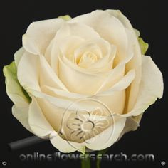 Rose vendela - Google Search