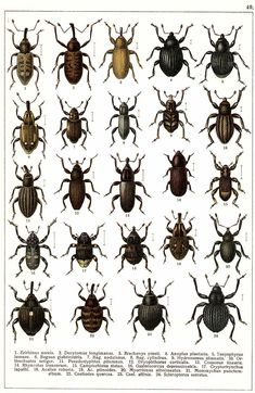 """G.G. Yakobson (1905-1915) - """"Beetles of Russia"""": table 49"""
