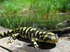 Tiger Salamander - Ambystoma tigrinum by Joe Farah