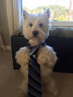 "Westie From your friends at phoenix dog in home dog training""k9katelynn"" see…"