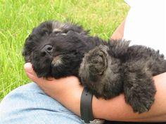 Bouvier pup