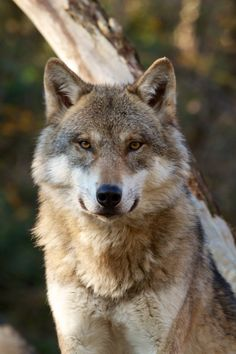 Adorn your wall with this beautiful portrait of a Grey Wolf wallpaper. Wolf Husky, Wolf Pup, Wolf Photos, Wolf Pictures, Beautiful Wolves, Animals Beautiful, Armadura Ninja, Funny Wolf, Wolf World