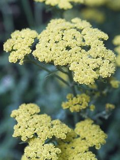 Anthea yarrow  Achillea 'Anblo' is a hybrid yarrow that bears 3-inch-wide clusters of soft primrose-yellow blooms that fade to cream. The plant has silvery-gray foliage and is resistant to powdery mildew, making it a good choice for regions with high humidity. It grows 18-24 inches tall and wide. Zones 4-9