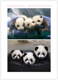 """Panda Triplets born to Ju Xiao at the Chimelong Safari Park in Guangdong province. Cubs names are Mengmeng, which means """"cute,"""" is the name given to the oldest panda triplet, a girl. Her brothers' names stand for """"handsome,"""" for Shuaishuai, and """"cool,"""" for Kuku.  iPanda.com"""