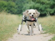 How To Make A Dog Wheelchair: A DIY Guide Best Dog Food, Dry Dog Food, Best Dogs, Dog Ear Infection Treatment, Dogs Ears Infection, Cool Dog Tricks, Dog Ringworm, Cold Weather Dogs, Overweight Dog