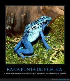 RANA PUNTA DE FLECHA - El anfibio más venenoso del mundo capaz de matar a 6 hombres con su veneno