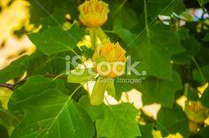 Flower Liriodendron Tulipifera (Tulip Tree, American Tulip Tree, Tuliptree) Royalty Free Stock Photo