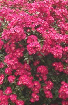 Potare le rose: osservare le nostre piante è la prima regola - i perchè, gli strumenti, le basi, i vari tipi di rose Robin, Calm, Color, European Robin, Robins