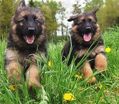 Long Haired West German Showline, German Shepherd Puppies - Zuflucht K9s   https://www.facebook.com/ZufluchtK9s/
