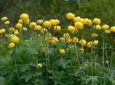 Creamy Yellow globe flower is an old fashioned feeling early spring bloomer. Hardy Perennials, Flowers Perennials, Globe Flower, August Flowers, Plant Identification, Flower Ball, Garden Theme, Yellow Flowers, Garden Plants