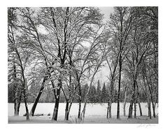 ADAMS, ANSEL (1902-1984) 'Young Oaks, Winter' (Yosemite).