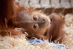 11 Best Cute Orangutans Images Funny Animals Monkeys Baby Orangutan