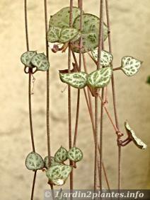la chaine des coeurs est une plante utilisée en suspension à l'intérieur