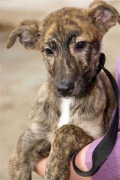 greyhound puppies - Google Search