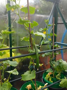Cucumbers growing well 🤩 Allotment, Container Gardening, Life Is Good, Life Is Beautiful, Container Garden