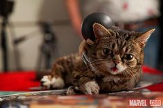 Because Wolverine loves Lil Bub! | Lil Bub Is A Totally Comic Book Nerd