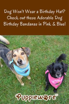 Celebrating your dog's birthday but don't want to mess with a hat? Check out these soft, stretchy birthday bananas for dogs, in pink and blue. Cat Birthday, Animal Birthday, Birthday Cakes, Bananas For Dogs, Hound Dog Breeds, Serval Cats, Herding Cats, Orange Tabby Cats, Cat Scratching Post