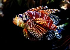 Red lion fish (Pterois volitans) by Rainer Leiss, shoot it! Underwater Creatures, Underwater Life, Colorful Fish, Tropical Fish, Life Under The Sea, Beautiful Sea Creatures, Salt Water Fish, Water Animals, Marine Fish