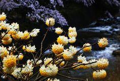 美杉・みつまたの雨 - 風景写真春秋
