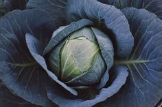 Beautiful photograph of the humble cabbage