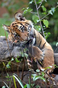 Adorable tiger cub playfully chewing on twigs. Baby Animals Pictures, Cute Animal Pictures, Cute Baby Animals, Animals And Pets, Wild Animals, Big Cats, Cats And Kittens, Cute Cats, Beautiful Cats