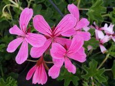 geranio-parigino-fiore
