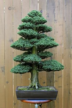 A powerful bonsai tree. How cool would that be on your patio? See more bonsai trees at http://www.nurserytreewholesalers.com/