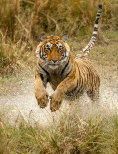 Bob Cat Pet The chase by Bob Pietrowski Put a tiger in your tank! I Love Cats, Big Cats, Beautiful Cats, Animals Beautiful, Animals And Pets, Cute Animals, Wild Animals, Small Cat, Animal Pictures