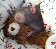 20 Rats Adorable Enough To Destroy Your Rat Phobia (Photos) Baby Animals Super Cute, Cute Little Animals, Cute Funny Animals, Little Pets, Funny Rats, Cute Rats, Rats Mignon, Animal Pictures, Cute Pictures
