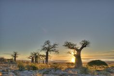 Kubu Island: A Desert Island of Baobabs and Ancient Fossils Places Ive Been, Places To Visit, African Tree, Okavango Delta, Desert Island, Continents, Scenery, Around The Worlds, Trees