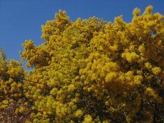 Las mimosas en plena floración, huelen de maravilla.