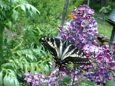Swallowtail butterflies love lilacs - this one is so enjoying the nectar http://www.drought-smart-plants.com/butterfly-garden-plants.html