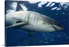 Great White Shark - Guadalupe Island