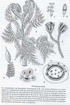 pteridospermales
