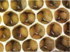 queen bee eggs