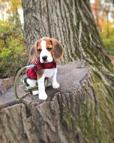 Basset Hound Puppy, Beagle Puppy, Baby Dogs, Pet Dogs, Pets, Doggies, Begal Puppies, Baby Animals, Cute Animals