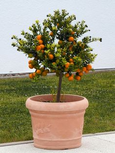 plantio-de-arvores-frutiferas Fruit Trees, Trees To Plant, Best Fruits, Fruit Garden, Small Trees, Amazing Gardens, Homesteading, Planter Pots, Tropical