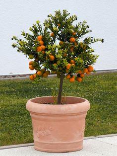 plantio-de-arvores-frutiferas Small Fruit Trees, Dwarf Fruit Trees, Types Of Fruit, Variety Of Fruits, Fruit Garden, Garden Trees, Potted Trees, Trees To Plant, Best Fruits For You