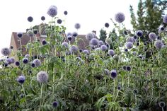 Echinops ritro Taplow Blue:small globe thistle Herbaceous perennial; Asteraceae; Zone: 3 to 8, Height: 3 to 4 feet, Spread: 2 to 2.5 feet, Bloom Time: July to September, Full sun; Dry to medium