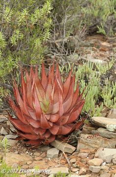 A beautiful specimen this one, growing out in the open, fully exposed to the sun, giving it that nice red tinge. Blooming Succulents, Growing Succulents, Cacti And Succulents, Planting Succulents, Planting Flowers, Succulent Landscaping, Succulent Gardening, Landscaping Plants, Succulent Bonsai