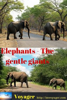 Elephants – The gentle giants have always fascinated Man, children clap with glee on seeing elephants whether it be in the zoo, circus or hauling heavy loads on the road. The association of Man and Elephant goes a long way back in history.