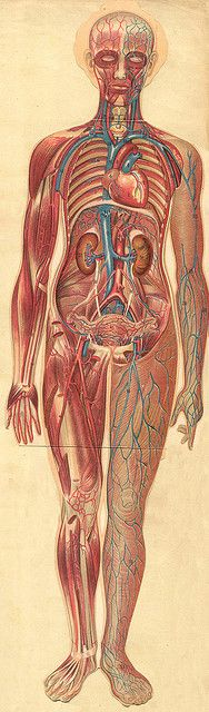 11 best Anatomie images on Pinterest | Anatomy, Human body and Health