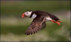Puffin in flight, Miguel Lasa