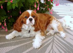 Ella turned 2 this last November. #King #Charles #Spaniel