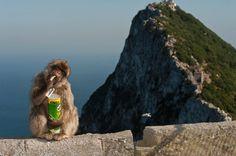 Makakentum in Gibraltar: Affe mit geklauter Pringles-Dose: Vom Felsen aus können die Tiere die Küste Nordafrikas sehen - von dort stammen sie ursprünglich