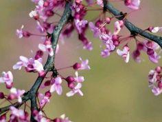 Cherry Blossoms !