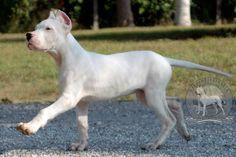 Dogo Argentino - Argentine Dogo : The Original US Breeder Upholding ...